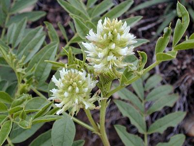 Regaliz - Glycyrrhiza Glabra